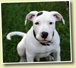 No Need For BSL- Breed Specific Legislation