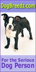 Boston Terrier pictures, photos, information and Ecards